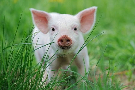 40886505 - piglet on spring green grass on a farm